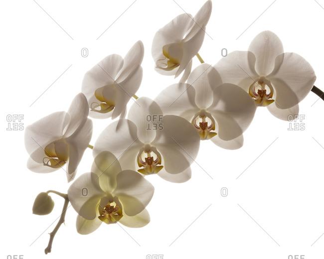 Orchid, Keizer, Oregon, USA