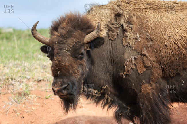 Bison Portrait from Wind Cave National Monument, South Dakota, USA