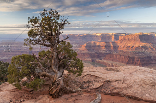 Sunrise on juniper and canyon, Dead Horse Point State Park, Utah, USA