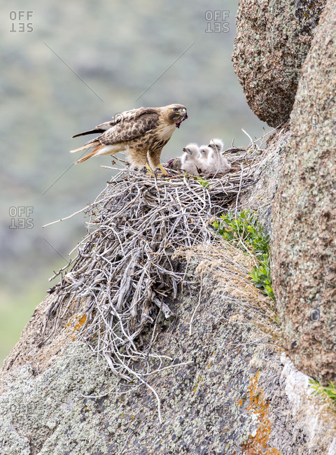 Red-tailed Hawk feeding young, Sublette County, Wyoming, USA