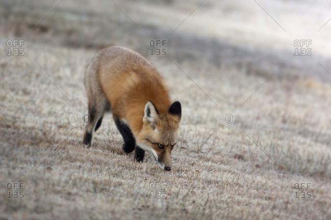 Red Fox looking for food, Wapiti, Wyoming, USA