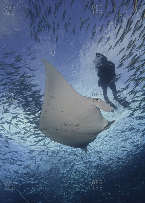 Woman diving with Manta alfredi, Palau
