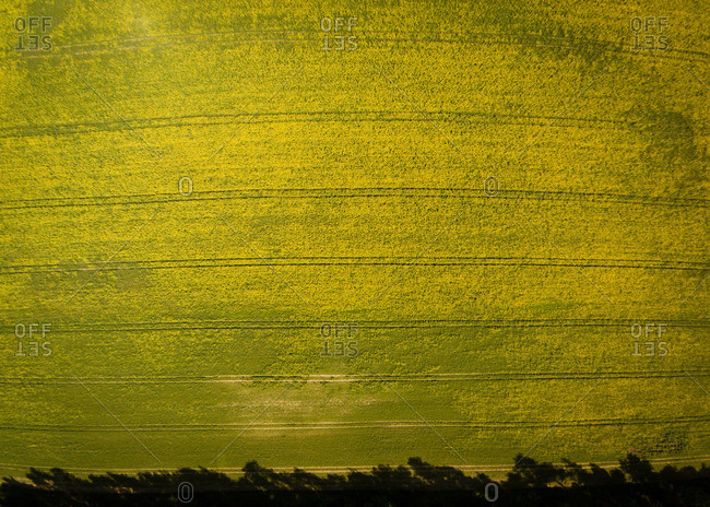 Field of rapeseed in Lithuania
