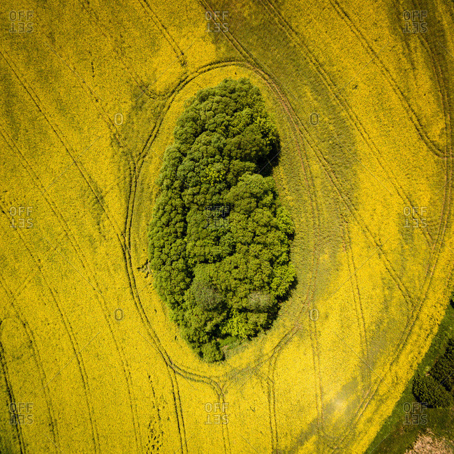 Grove in the middle of rapeseed field in Lithuania