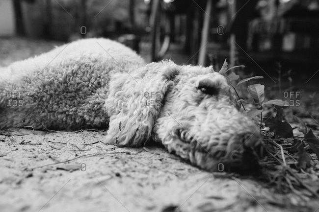 Curly-haired dog lying on ground