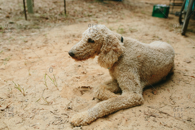 Curly-haired dog relaxing on ground