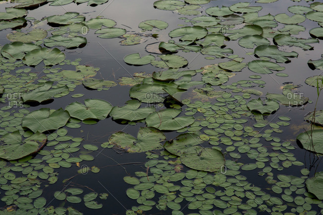 Surface of pond covered with lilypads