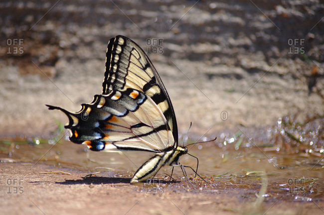Swallowtail butterfly drinking from a puddle of water