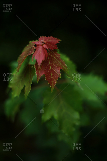 Young red leaves on a maple tree