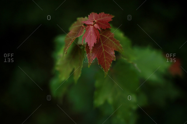 Close-up of red leaves on a branch of green maple leaves