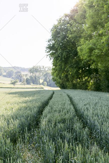 Tire tracks in a green field of grain