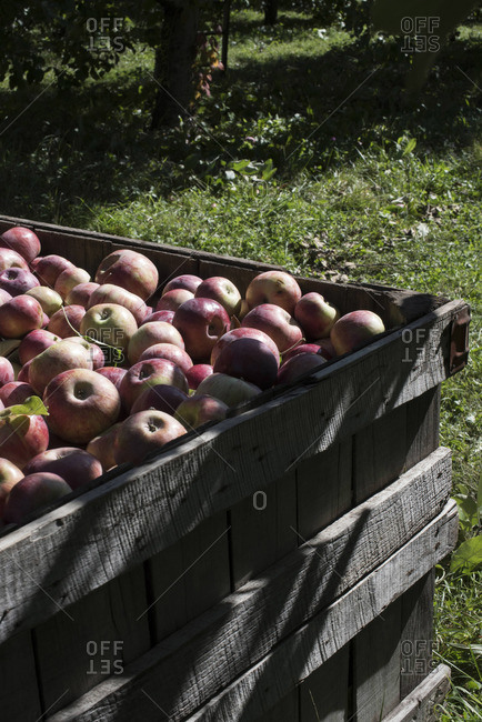 Wooden crate full of red apples