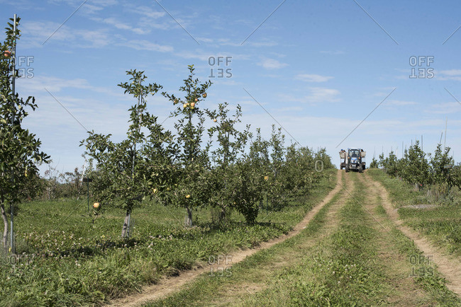 Tractor drives in an apple orchard