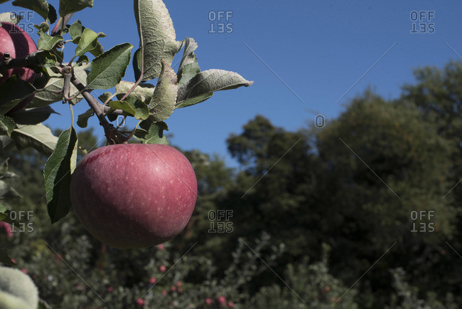 Red apple hangs from an apple tree