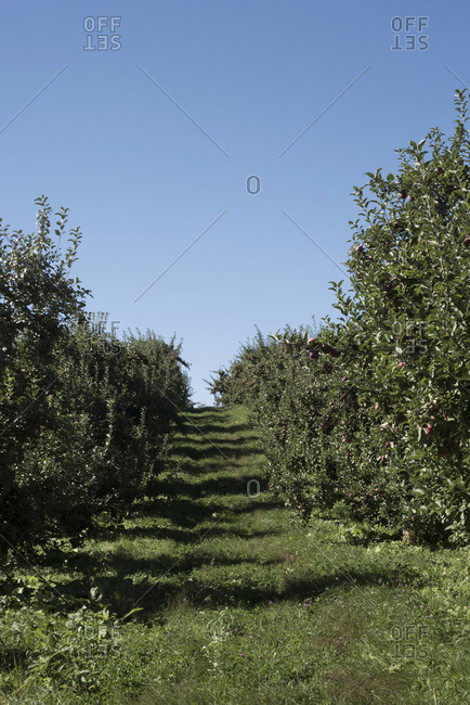 View of an apple orchard