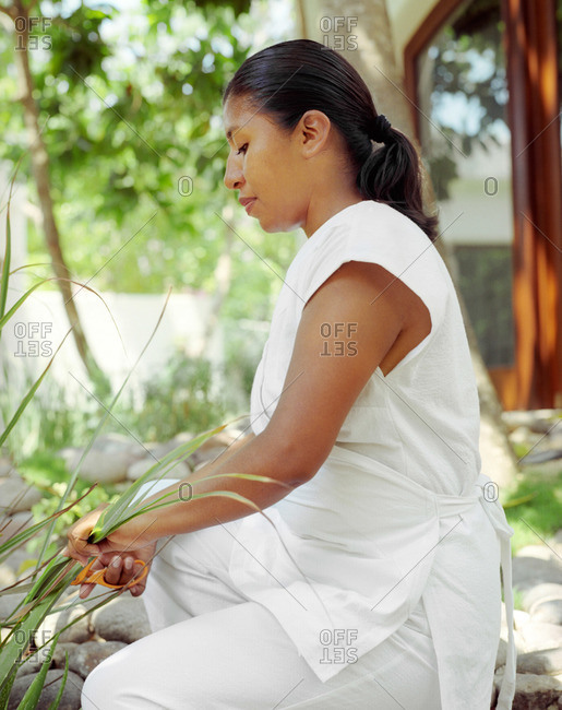 A spa therapist harvests fresh lemongrass for spa treatments