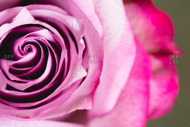 Detail of a fuchsia rose