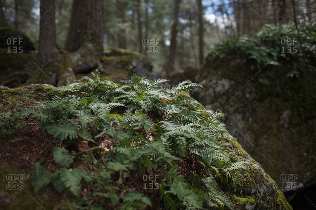 Ferns growing on boulders in a forest