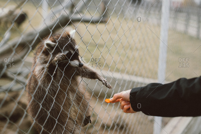 Raccoon on fence reaches for carrot