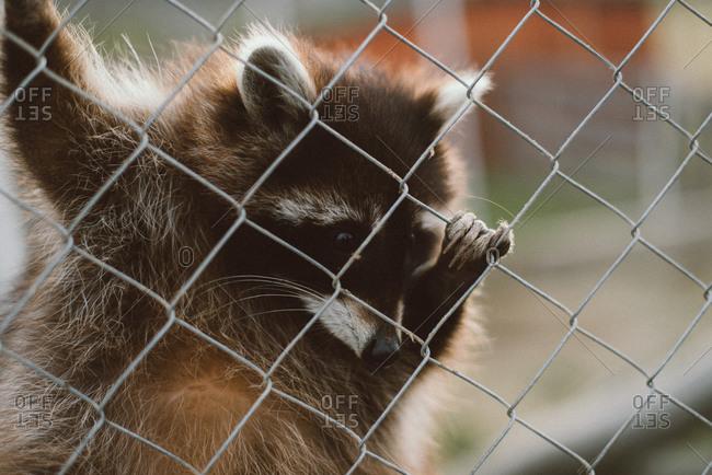 Raccoon climbing on chain link fence