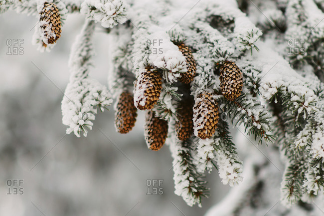 Pinecones on tree covered with snow