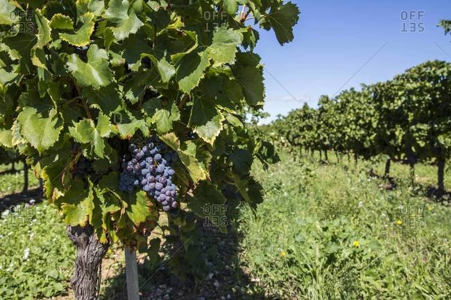 Close-up of grapes on the vine in a French vineyard