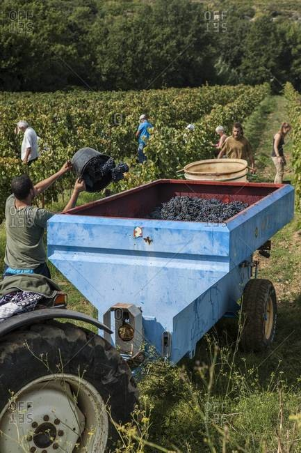 Family members participate in grape harvest at vineyard in Languedoc region of France