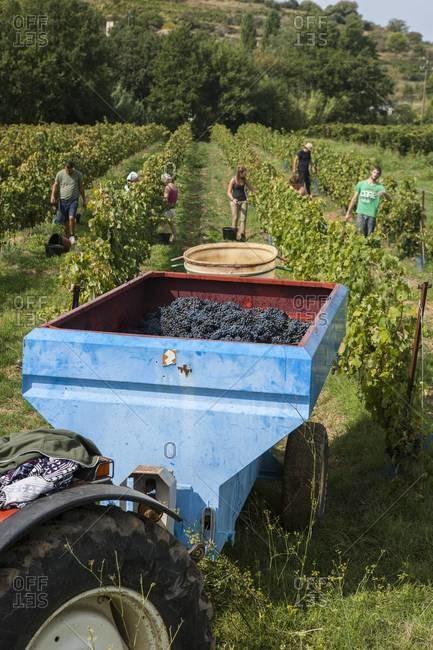 Family harvesting grapes at French vineyard
