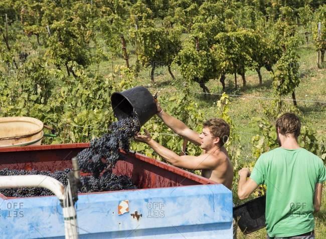Languedoc, France - September 10, 2015: Men dumping freshly harvested grapes into bin at vineyard