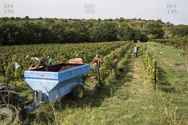 Languedoc, France - September 10, 2015: Farm workers harvesting grapes in France