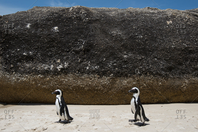 Two penguins walking on beach in South Africa