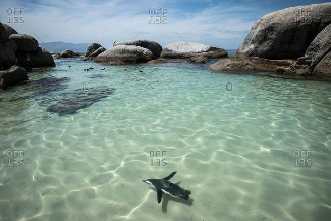 Penguin swimming in shallow water, South Africa