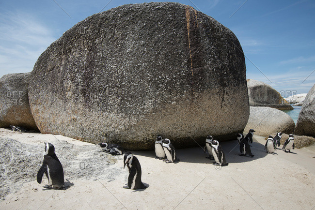 Penguins gathering by boulder on South African beach