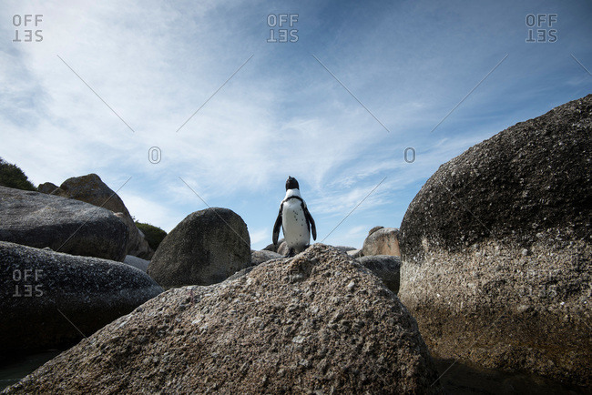 Penguin standing on boulder, South Africa