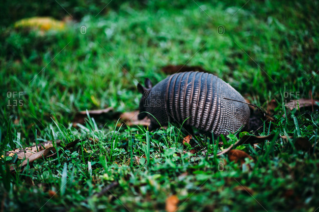 Back view of armadillo in grass