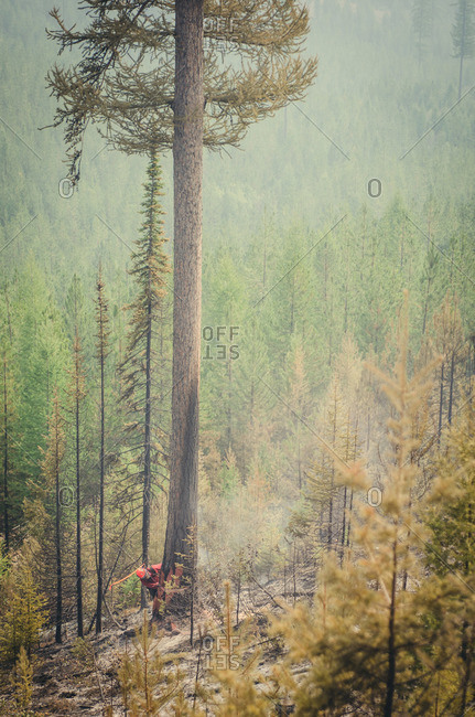 Alberta, British Colombia, Canada - July 27, 2015: Member of Panorama Crew Services sawing down burnt tree, British Colombia, Canada