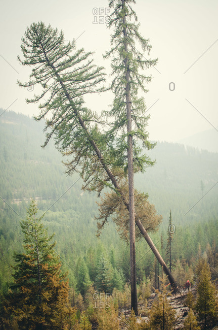 Alberta, British Colombia, Canada - July 27, 2015: Tree falling after member of Panorama Crew Services cut it down burnt tree, British Colombia, Canada