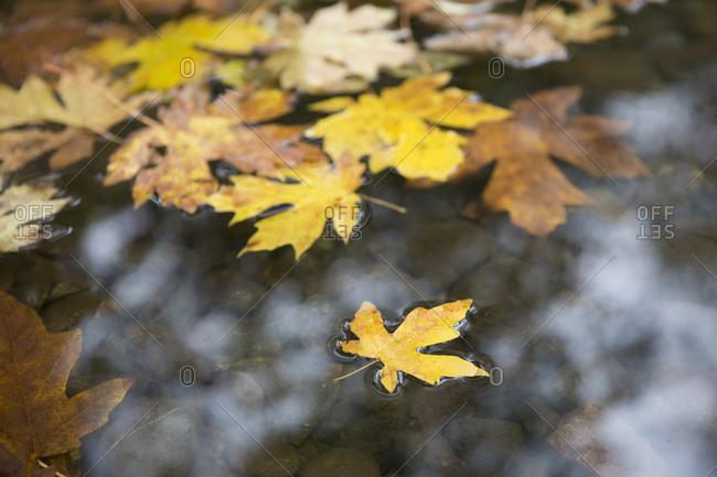 Fallen leaves in stream