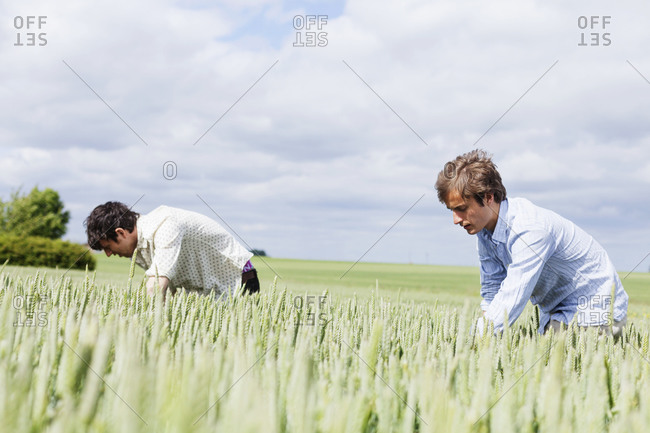 Two men bent over in a wheat field