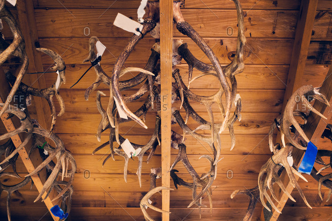 Rows of tagged antlers hanging from rafters
