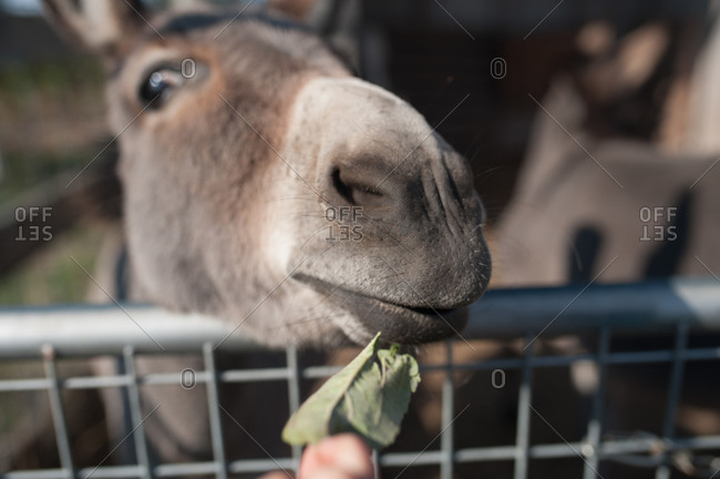 Donkey eating leaf from a hand