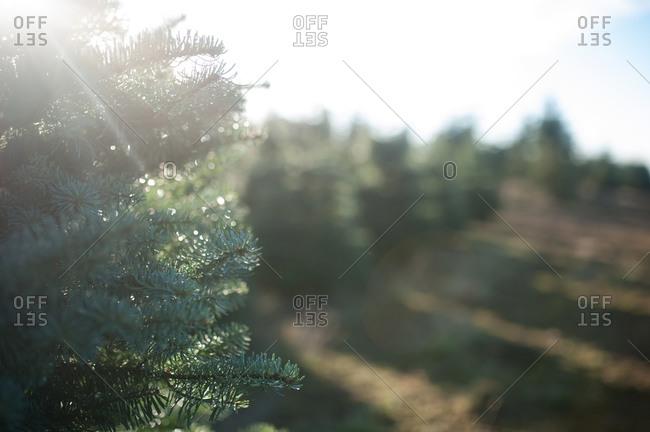Sunlight through pine branches on tree farm