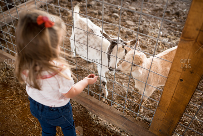 Girl feeding goats at a petting zoo