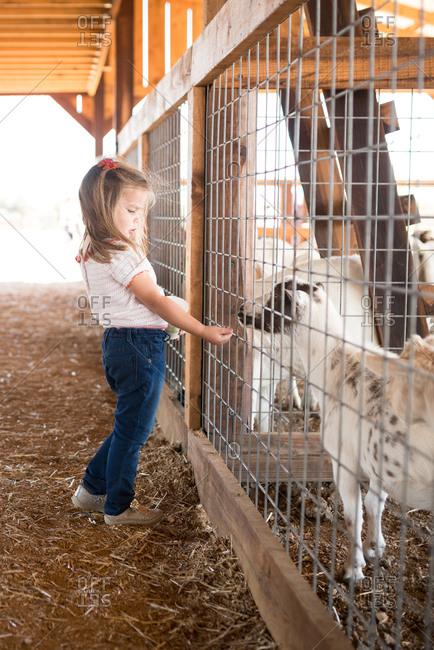 Girl at a petting zoo feeding goats