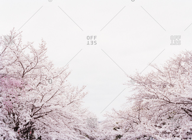A landscape of cherry blossoms in full bloom