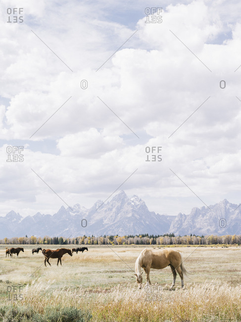 Horses grazing in a pasture in Grand Teton National Park, Wyoming
