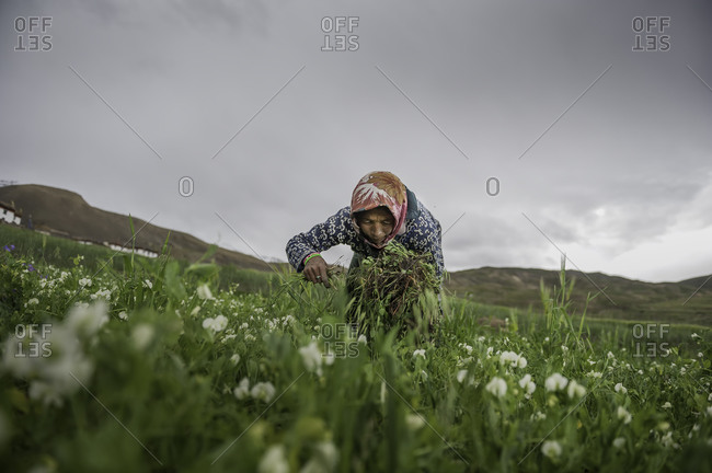 Woman picking plants in Indian Himalayas