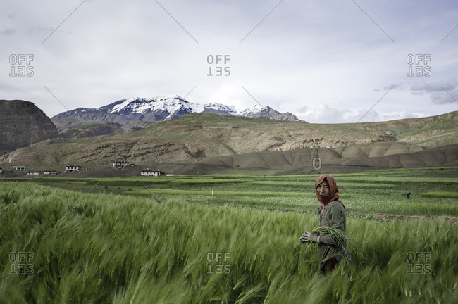 Woman with field grain in Indian Himalayas