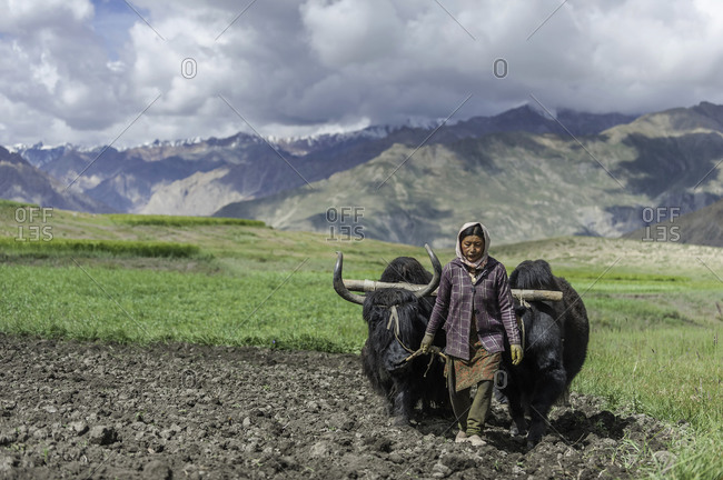 Woman plowing field with yaks in Himalayas