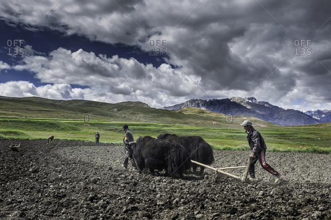 Farmers plowing field with yaks in Himalayas